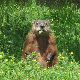Everyone's Favorite Groundhog Punxsutawney Phil…